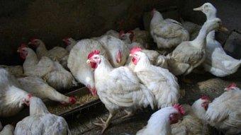 Podnikatel.cz: Chová kuřata, co lezou na pekáč sama