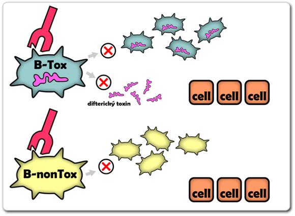 Na obrázku je znázorněn princip účinku protilátky proti korynebakteriím samotným. Takové protilátky zabraňuji jejímu pomnožení a obecně tedy vzniku jakéhokoliv onemocnění. Nemůže vznikat nejen toxin, ale onemocnění nemůže proběhnout ani ve své běžné a méně virulentní podobě.