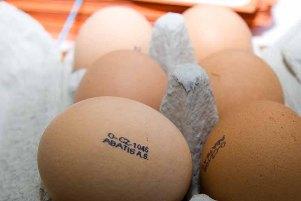 slepice, vejce
