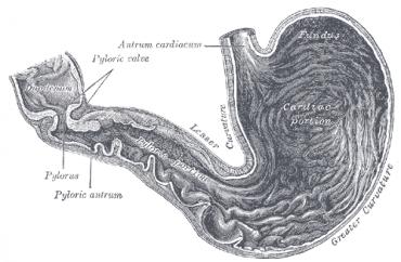 žaludek