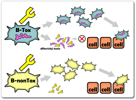 Na obrázku je znázorněn princip účinku protilátky proti difterickému toxinu. Takové protilátky zabraňují účinku toxinu, ale nemohou účinně zasáhnout proti korynebakteriím samotným. Ty se mohou pomnožit a vést ke vzniku méně závažné formy onemocnění. U netoxických korynebakterií se poté tyto protilátky zjevně míjí jakýmkoliv účinkem.