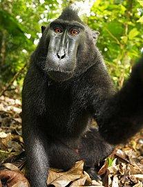 Jedna z dvojice slavných opičích selfie