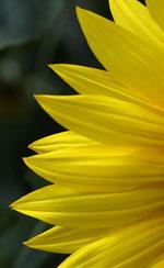 Slunečnice výřez