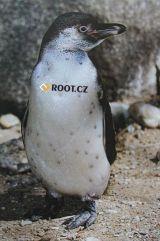 Tučnák Humboltův - pražská Zoo - menší