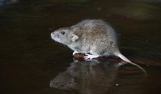 Počůral vám potkan vodu? Pozor na leptospirózu