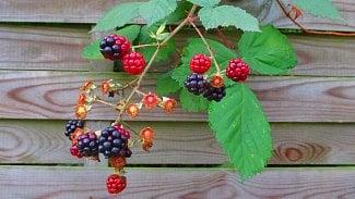 120na80.cz: Ostružiníkové listí má detoxikační účinky