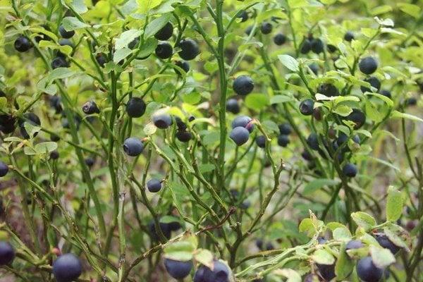 Brusnice borůvka (Vaccinium myrtillus) - léčivá rostlina z rodu brusnic, známá pod lidovým názvem borůvka. Modrý plod má výraznou chuť a schopnost barvit do modra. Je zdrojem antioxidantů.