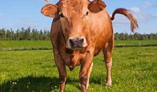 VPolsku krmili zvířata masokostní moučkou. Máme sebát?
