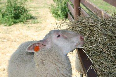 kozy, kozí farma, Pěnčín