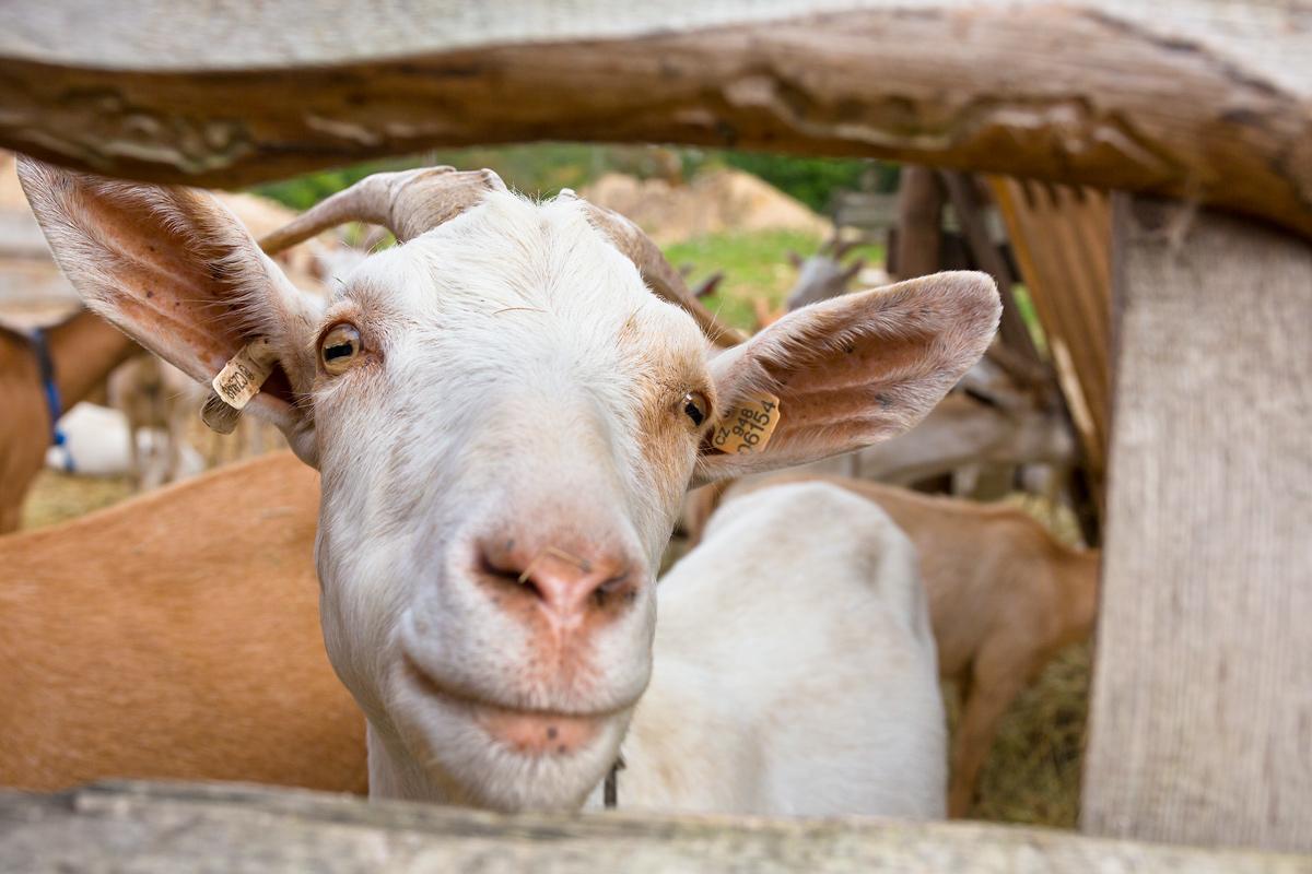 Sýr Legenda z farmy Létající koza má titul Regionální potravina.