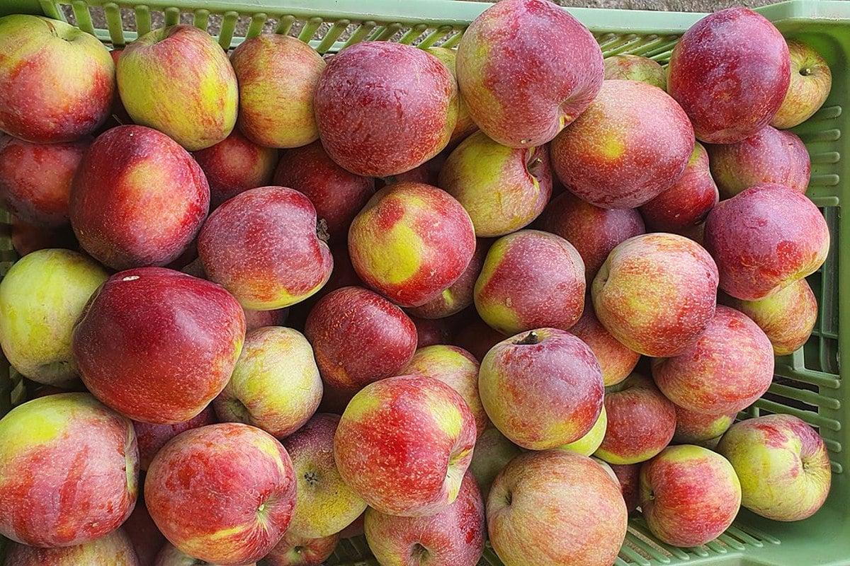 Staré odrůdy jablek