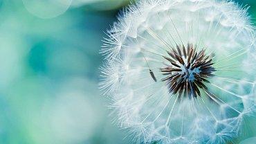Pozadí do Ubuntu 12.10 - Blue Dandelion