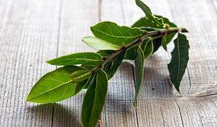 Vavřín, nebo bobkový list? Listy jsou léčivé