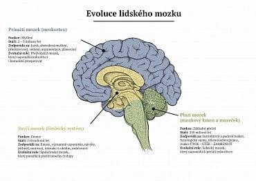 Evoluce lidského mozku