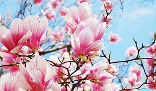 Vitalia.cz: 5receptů sléčivým účinkem: magnolie