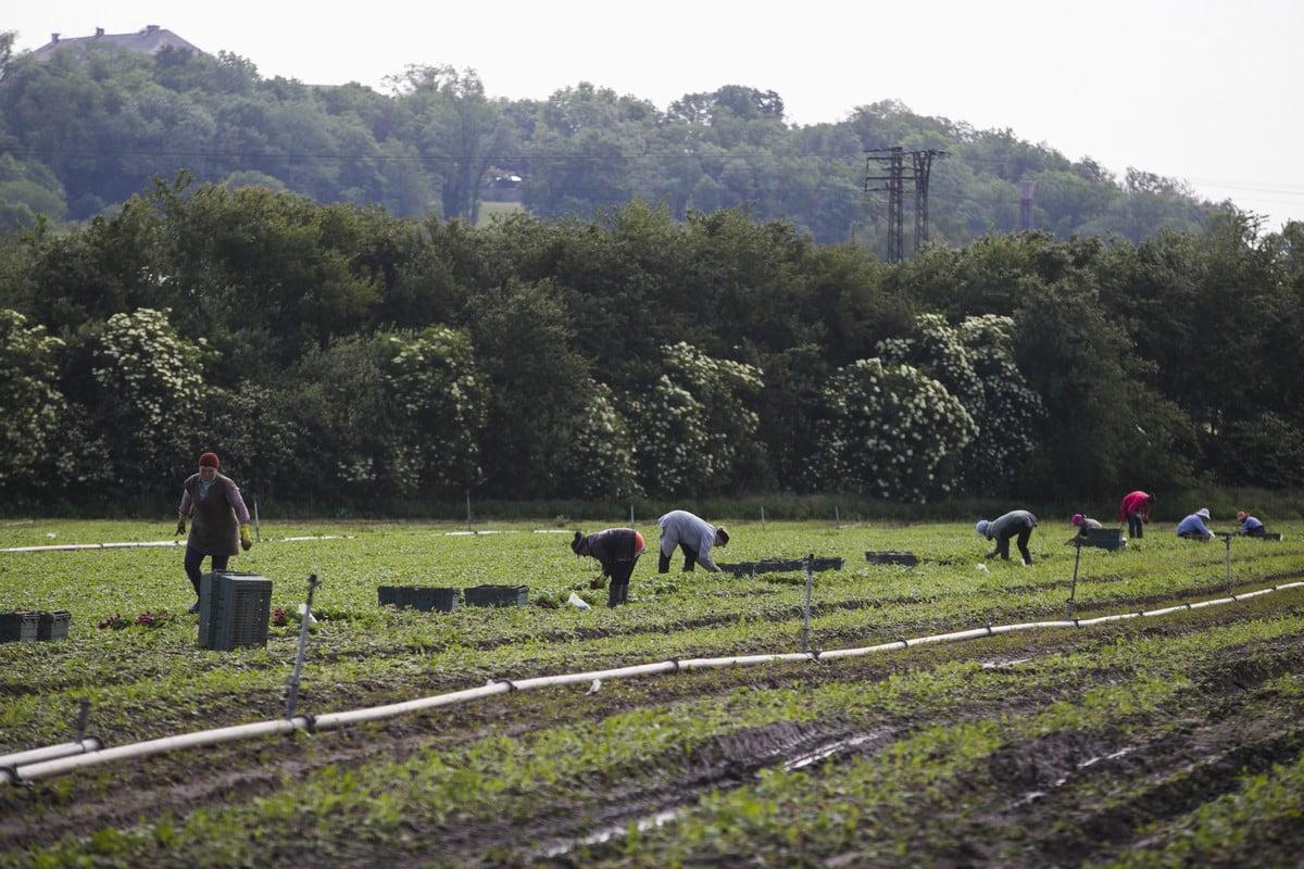 Jak se pěstují ředkvičky v Polabí