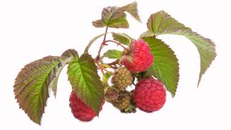 120na80.cz: Pijte malinové listí