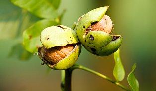 Víte, že iořešákové listí léčí?