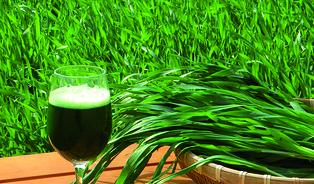 Zelený ječmen: tradiční plodinu dovážíme ve formě prášku