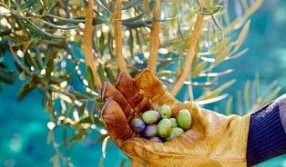 Jak se vyrábí olivový olej, ten kvalitní