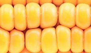 Rizika GMO? Neliší se od jiných