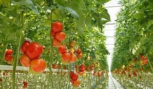 Vobchodech budou rajčata pěstovaná bez půdy