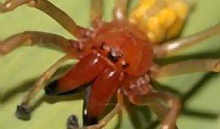 Kousnul vás pavouk? Pravděpodobně jde o zápřednici jedovatou