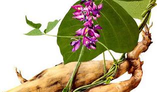 Kořen kudzu snižuje chuť na jídlo ialkohol