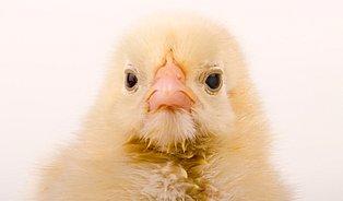 Jak svět přichází ojednodenní kuřata