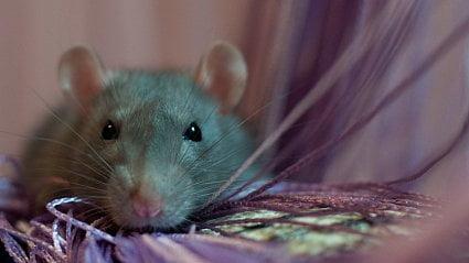 Vitalia.cz: Myši vylézají zděr a šíří nemoci