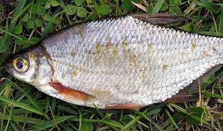 Umíte si připravit bílé ryby? Recept je jednoduchý