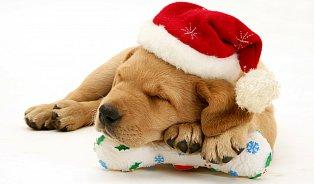 Nejhorší vánoční dárek? Levný pejsek zmnožírny