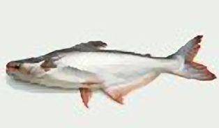 Pangas je sladkovodní ryba ze znečištěné řeky