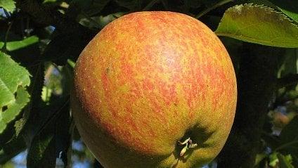Vitalia.cz: Sbohem, renety. Nejchutnější jablka mizí