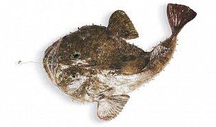 Mořský ďas: Nejošklivější ryba má delikátní maso
