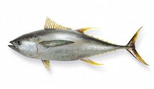 Letní ryby: Věk tuňáka zjistíme podle letokruhů