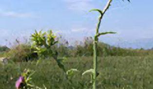 Bylinky na detoxikaci jater: bodláky dokážou zázraky