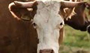Jak vzniká bio hovězí: Cesta masa od býka po steak