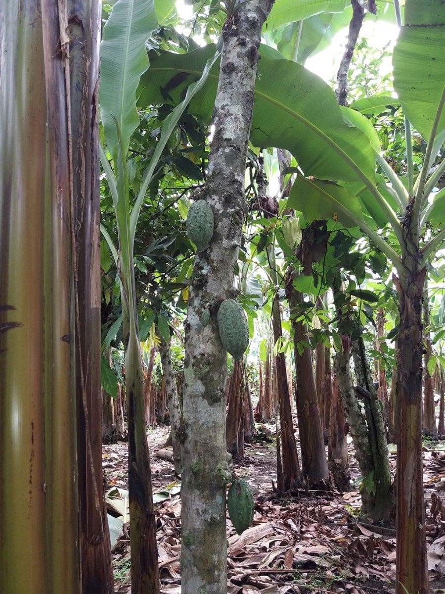Pěstování banánů na konvenčních a fair trade plantážích.