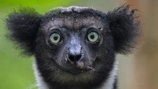 Lemur Impish Indri