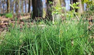 Medvědí česnek je fajn– znáte ale lesní pažitku?