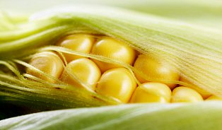 Odpůrce GMO usvědčuje zomylu sama příroda