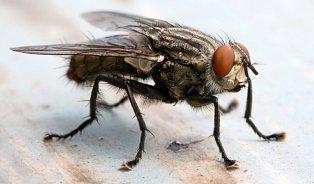 Hmyz, který má potenciál stát se potravinou? Mouchy
