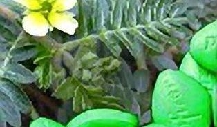 """Mezi přírodními afrodiziaky vede """"zelená viagra"""""""
