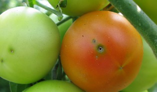 Česká rajčata ničí nový škůdce