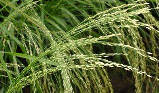 Teff– obilnina původem zAfriky neobsahuje lepek