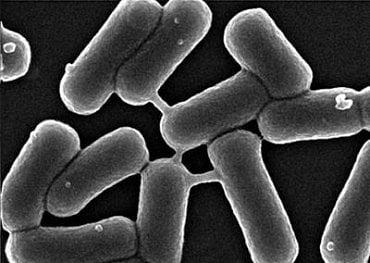 Takhle komunikují, tedy vytvářejí můstky, mikroorganismy E. coli, které máme ve střevech.