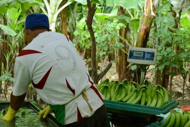 Jak se pěstují banány v Jižní Americe
