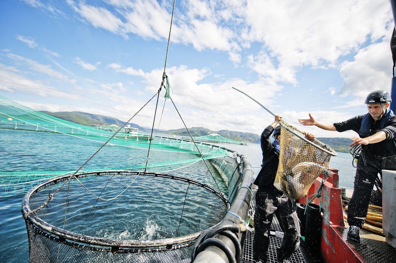 Chov, lov a zpracování lososa