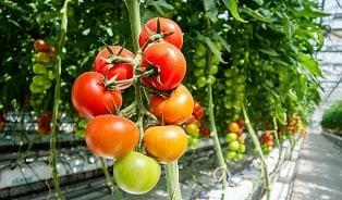 Vitalia.cz: Spotřeba rajčat významně vzrůstá